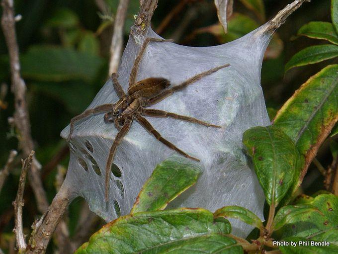 Nursery spider Dolomedes minor b-33.JPG
