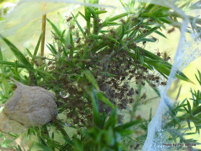 Nursery spider nest and spiderlings.JPG