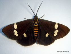 Phil Bendle Collection:Nyctemera annulata (Magpie moth)