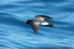 Phil Bendle Collection:Petrel (New Zealand storm petrel) Fregetta maorianus