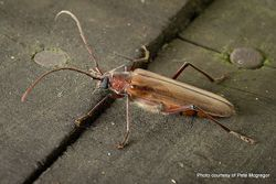 Phil Bendle Collection:Beetle (Longhorn Kanuka) Ochrocydus huttoni