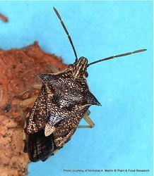 Phil Bendle Collection:Bug (Shield bug) Schellenberg s soldier bug (Oechalia schellenbergii)