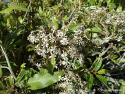 Phil Bendle Collection:Olearia avicenniifolia (Mountain akeake)