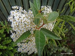 Phil Bendle Collection:Olearia cheesemanii (Streamside tree daisy)