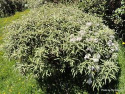 Phil Bendle Collection:Olearia ilicifolia (Mountain holly)