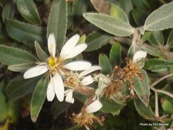 Phil Bendle Collection:Olearia matthewsii (Cultivar O. ilicifolia x O. moschata)