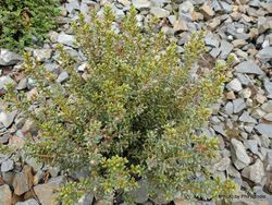 Phil Bendle Collection:Olearia cymbifolia (Hard Leaved Tree Daisy)