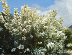 Phil Bendle Collection:Olearia phlogopappa (Dusty daisy bush)