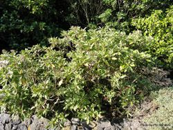 Phil Bendle Collection:Olearia rani (Heketara)