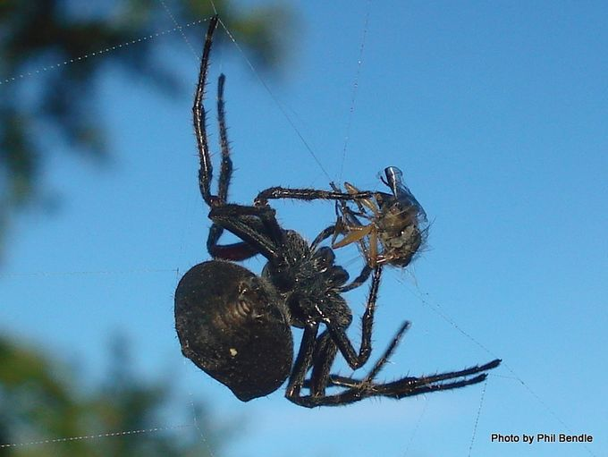 Orb spider catching a fly.JPG