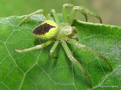 Phil Bendle Collection:Orbweb spider (Green forest) Colaranea melanoviridis