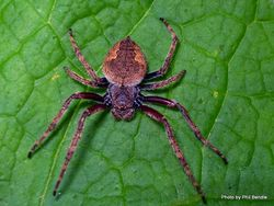 Phil Bendle Collection:Orbweb spider (Photos of various species) Page 1