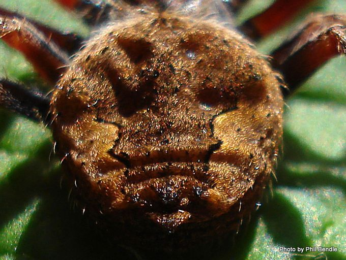 Orbweb spider brown-13.JPG