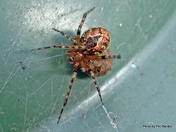Phil Bendle Collection:Orbweb spider (Photos of various species) Page 2