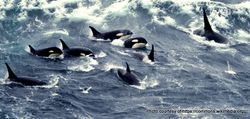 Phil Bendle Collection:Dolphin (Orca) Orcinus orca