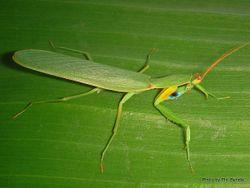 Phil Bendle Collection:Praying mantis (New Zealand) Orthodera novaezealandiae)