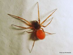 Phil Bendle Collection:Dwarf spider (Ostearius melanopygius)