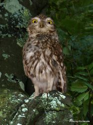 Phil Bendle Collection:Owl (Morepork) Ninox novaeseelandiae