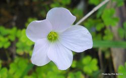 Phil Bendle Collection:Oxalis crassipes (White Oxalis)