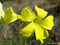 Phil Bendle Collection:Oxalis pes-caprae (Yellow sorrel)