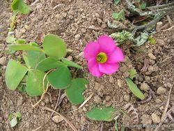 Phil Bendle Collection:Oxalis purpurea (Purple wood sorrel)
