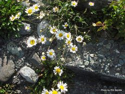 Phil Bendle Collection:Leucanthemum vulgare (Oxeye Daisy)