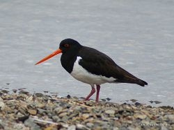Phil Bendle Collection:Oystercatcher (South Island Pied) Haematopus ostralegus finschi