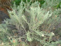 Phil Bendle Collection:Ozothamnus leptophyllus (Tauhinu)