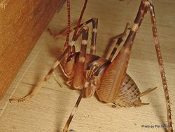 Phil Bendle Collection:Weta (Cave) Wellington (Pachyrhamma edwardsii)