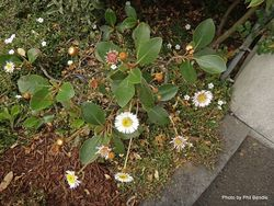 Phil Bendle Collection:Pachystegia rufa (Marlborough rock daisy)
