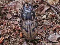 Phil Bendle Collection:Beetle (Stag) Paralissotes reticulates