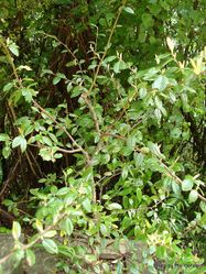 Phil Bendle Collection:Cotoneaster lacteus (Parney Cotoneaster)