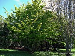 Phil Bendle Collection:Parrotia persica (Persian ironwood)