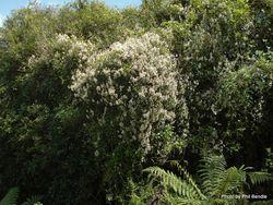 Phil Bendle Collection:Parsonsia heterophylla (New Zealand Jasmine)