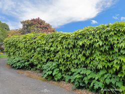 Phil Bendle Collection:Parthenocissus tricuspidata (Boston ivy)