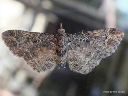 Phil Bendle Collection:Pasiphila lunata (Hebe moth)