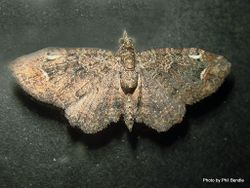 Phil Bendle Collection:Pasiphilodes testulata (Pome looper moth)