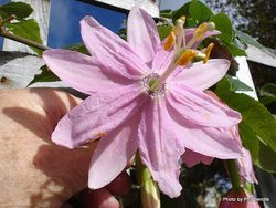 Phil Bendle Collection:Passiflora tripartita var. mollissima (Banana passion fruit)