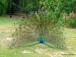 Phil Bendle Collection:Peacock (Indian Peafowl) Pavo cristatus