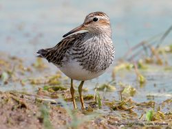 Phil Bendle Collection:Sandpiper (Pectoral) Calidris melanotos