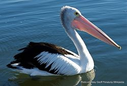 Phil Bendle Collection:Pelican (Australian) Pelecanus conspicillatus