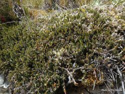 Phil Bendle Collection:Pentachondra pumila (Little Mountain heath)