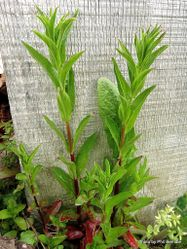 Phil Bendle Collection:Persicaria hydropiper (Water pepper)