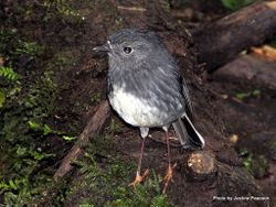 Phil Bendle Collection:Robin (North Island) Petroica longipes