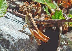 Phil Bendle Collection:Grasshopper (New Zealand) Phaulacridium marginale