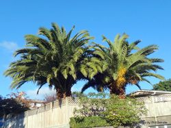 Phil Bendle Collection:Phoenix canariensis (Phoenix Palm)