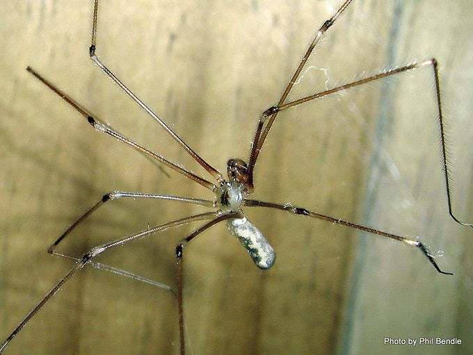 Pholcus phalangioides Daddy Long Legs spider-004.JPG