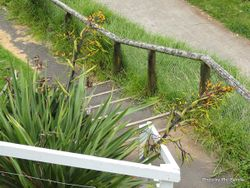 Phil Bendle Collection:Phormium cookianum subsp hookeri (Coastal Flax)