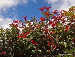 Phil Bendle Collection:Photinia species (Red Robin)