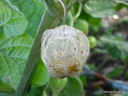 Phil Bendle Collection:Physalis peruviana (Cape Gooseberry)